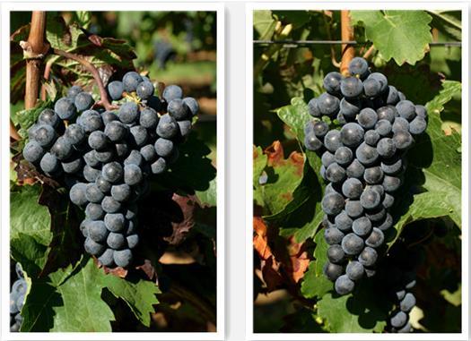 红酒酿造品种之——赤霞珠与品丽珠的区别